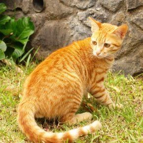 Цейлонская кошечка