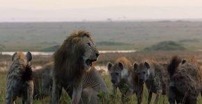 Льва окружили гиены и готовы были атаковать, если бы не его брат
