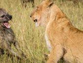 Один в поле не воин: стая гиен напала на львицу