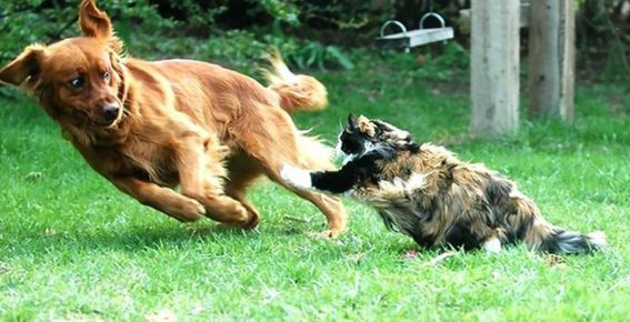 Кошка гонится за собакой