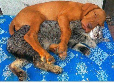 Собака спит в обнимку с кошкой