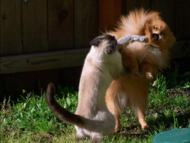 Кот дерётся с собакой