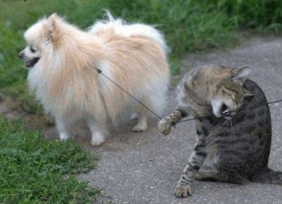 Кошка грызёт поводок