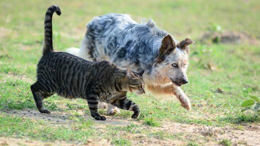Кошка и собака бегут рядом