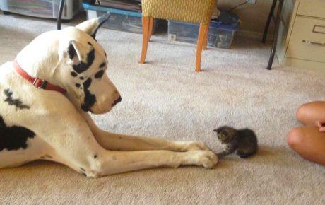 Собака и маленький котёнок