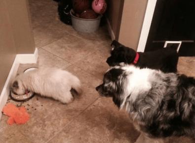 Кошка съела еду у собак