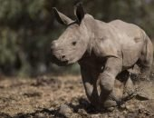Детёныш носорога