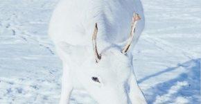 Согласно легенде: встреча с скандинавским оленем принесёт удачу