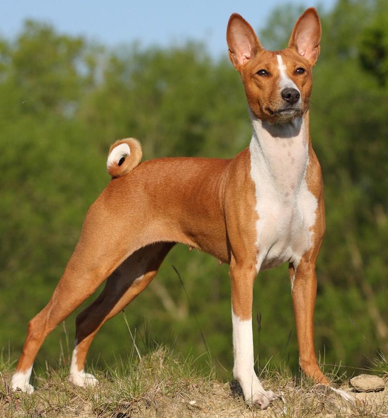 Собака породы басенджи
