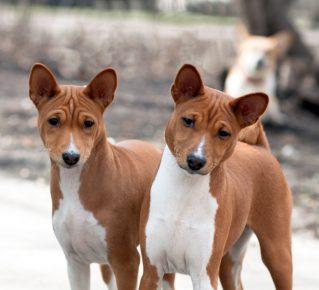 Две собаки породы басенджи