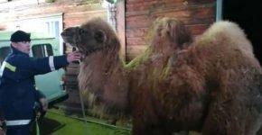 ДТП с парой верблюдов в Иркутской области для одного закончилось трагически