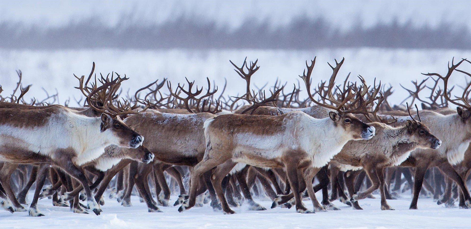 Картинки северный олень стадо