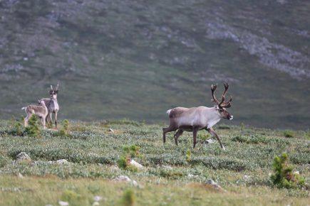 Северные олени в тундре