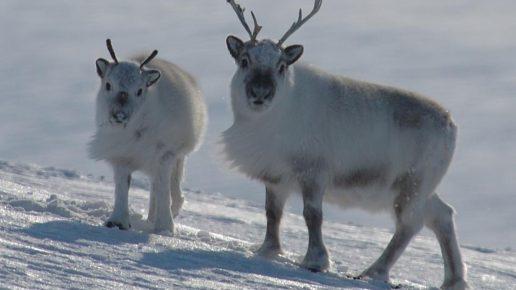 Белый северный олень