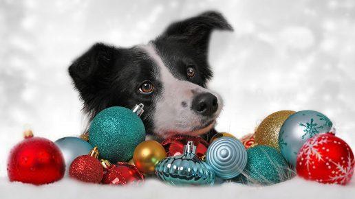 Собака выглядывает из-за новогодних шаров