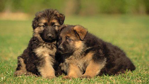Два щенка овчарки