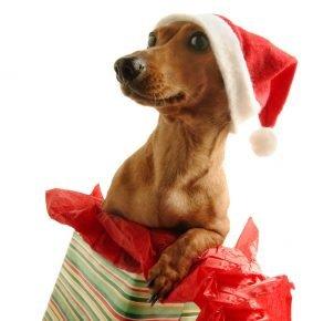 Собака в подарочной коробке