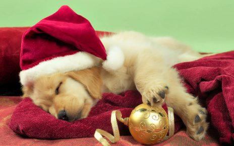 Щенок заснул с ёлочной игрушкой