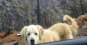 Верный пёс месяц охранял сгоревший дом в Калифорнии