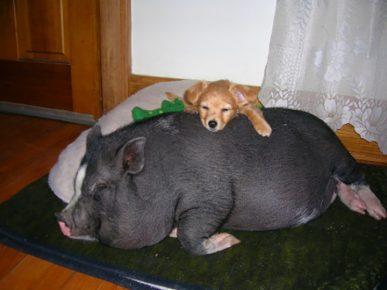 Взрослый мини-пиг спит с собакой