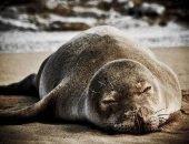 На Гавайях исследователи вытащили угря из носа тюленя