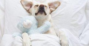 спящая очаровательная собака