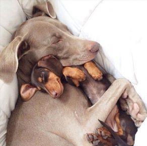 Две собаки спят в обнимку