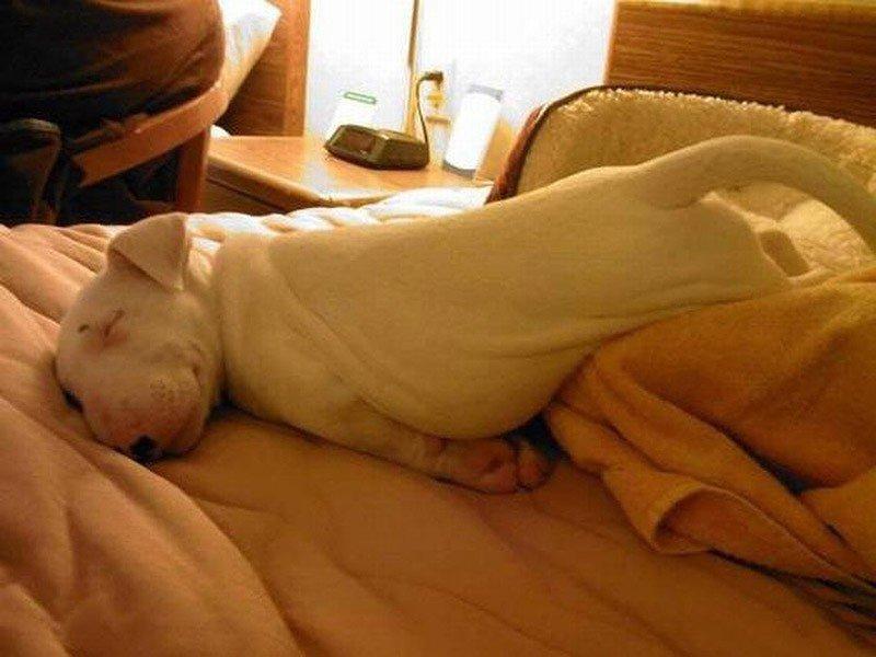 Питбуль заснул на кровати