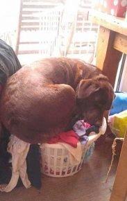 Собака спит в корзине с бельём