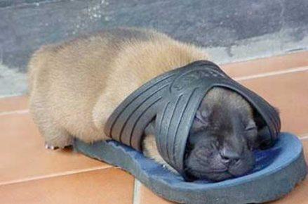 Щенок уснул в сланце