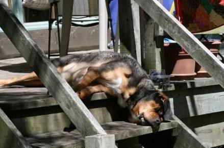 Собака уснула на ступенях