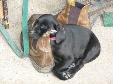 Щенок спит на ботинке