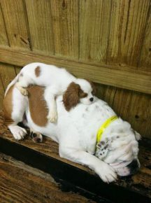 Собаки спят друг на друге