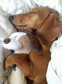 Собака спит в обнимку с игрушкой