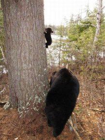 Медвежонок впервые залез на дерево