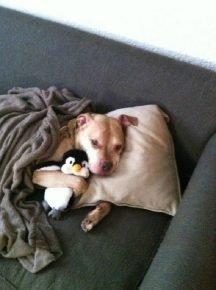 Питбуль спит с игрушкой