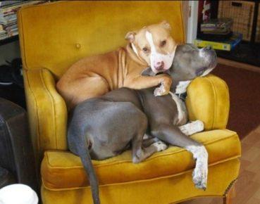 Питбули на кресле