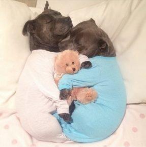 Питбули спят в одежде