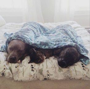 Питбули с кошкой под одеялом