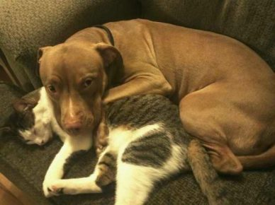 Питбуль спит с кошкой
