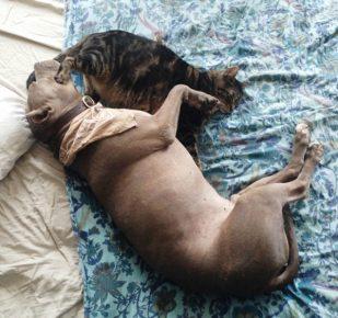 Питбуль и кошка
