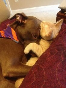 Питубль и кошка спят