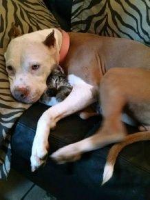 Питбуль с котёнком