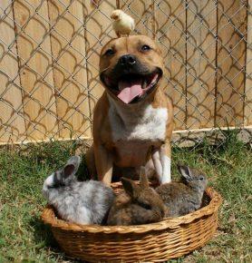 Питбуль с кроликами и цыплёнком