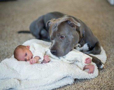 Питбуль смотрит на ребёнка