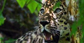 Индийский монах выбрал не подходящее место для медитации и был убит леопардом