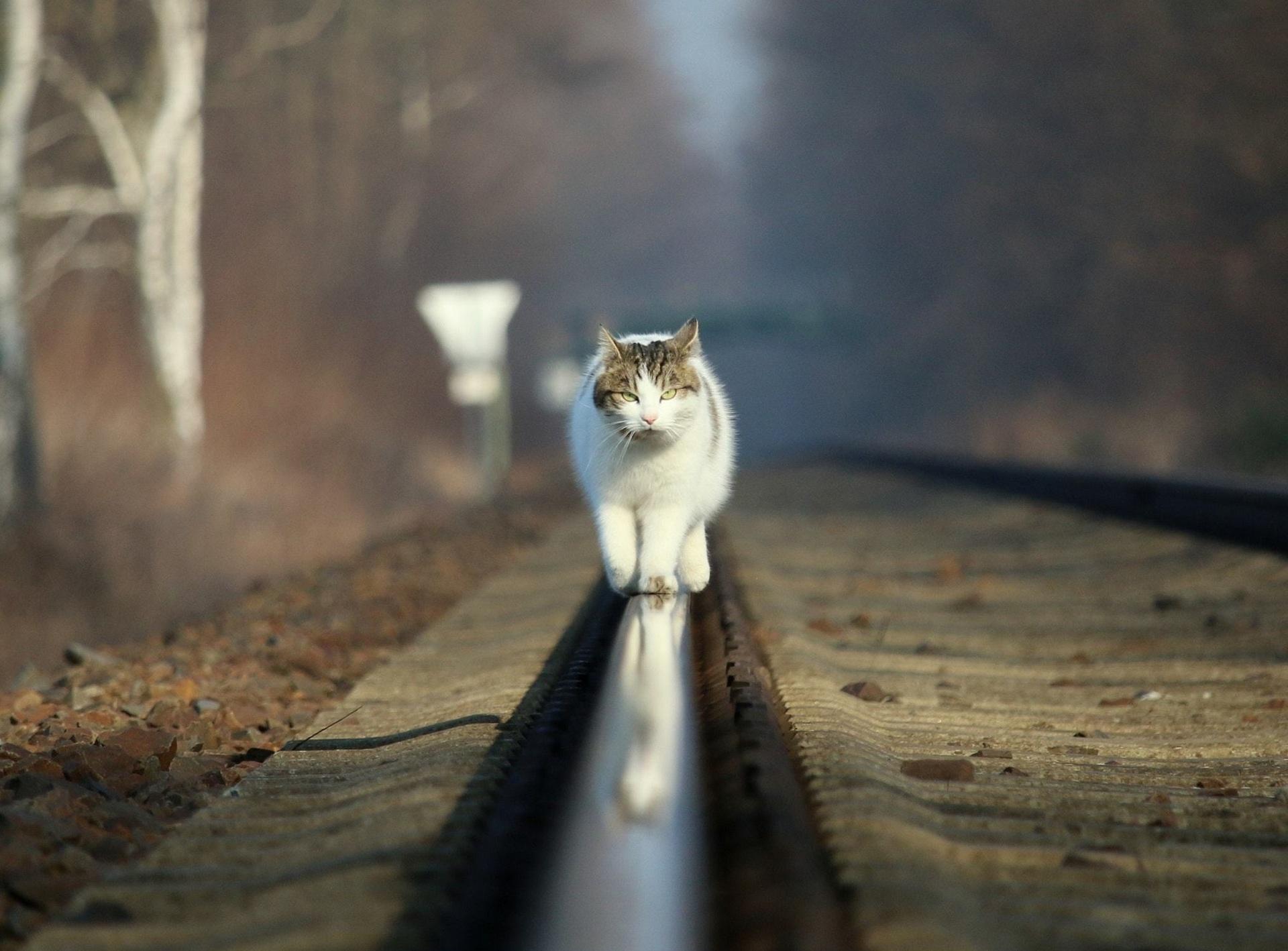 Кот идёт по рельсам