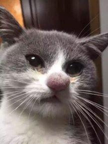 Пчела ужалила кота в нос