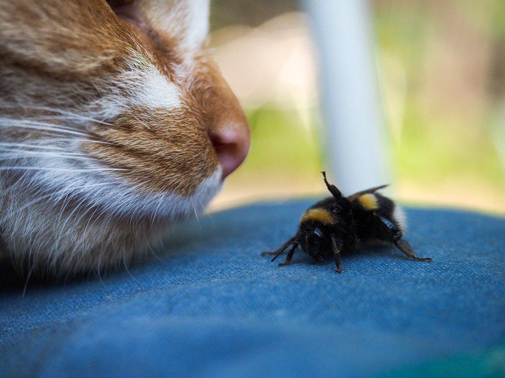 Кот нюхает шмеля