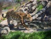 Сбежавших из афинского зоопарка ягуаров застрелили